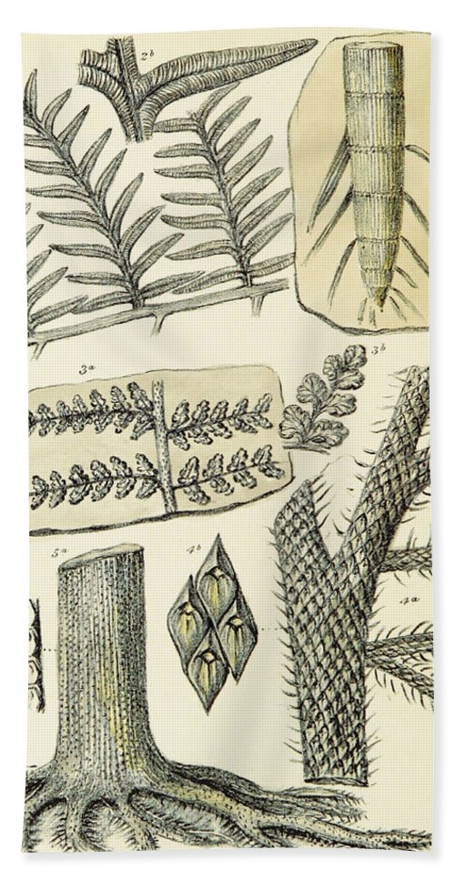 Historic Bath Towel featuring the photograph Paleozoic Flora, Calamites, Illustration by British Library