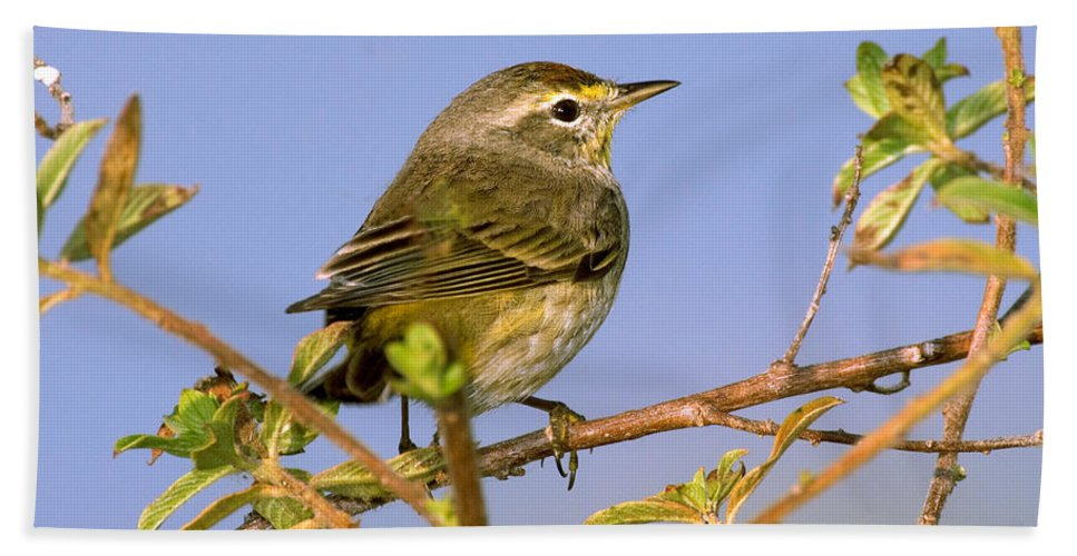 Palm Warbler Hand Towel featuring the photograph Palm Warbler by Anthony Mercieca