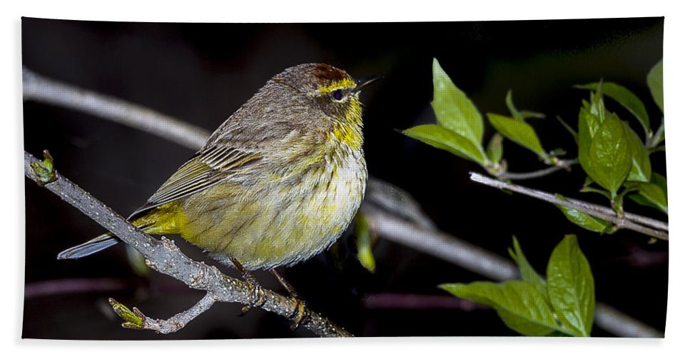 Animal Bath Sheet featuring the photograph Palm Warbler by Jack R Perry