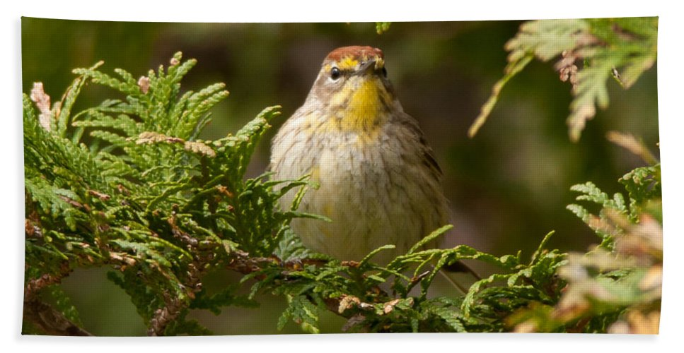 Bird Bath Sheet featuring the photograph Palm Warbler by Richard Kitchen