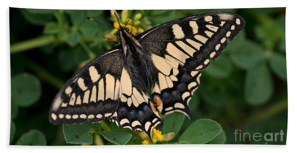 Macro Hand Towel featuring the photograph Papilio Machaon Butterfly Sitting On The Lucerne Plant by Jaroslaw Blaminsky