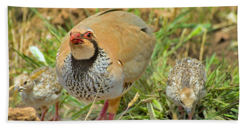 Partridge Bath Sheet featuring the photograph Partridge by Guido Montanes Castillo