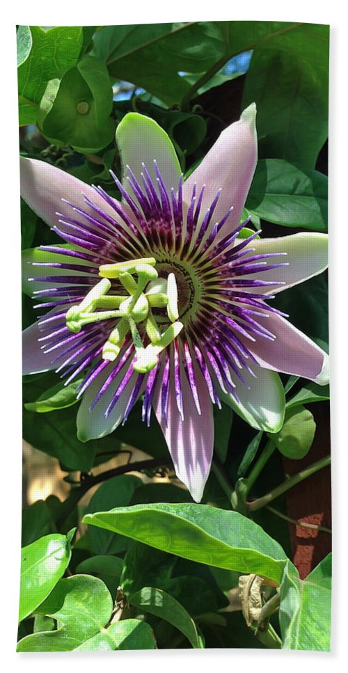 Passion Flower Bath Sheet featuring the photograph Passion Flower 4 by Aimee L Maher ALM GALLERY