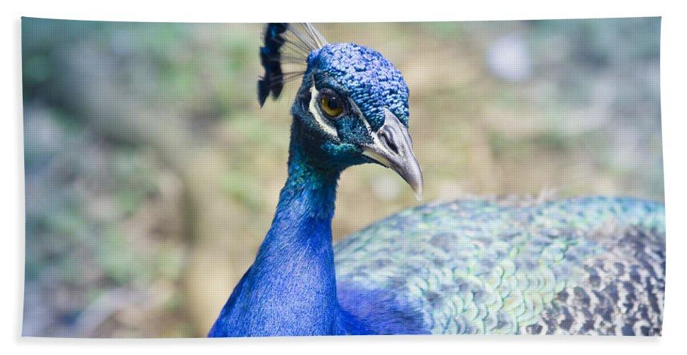 Peacock Bath Sheet featuring the photograph Pavo Cristatus II Indian Blue Peacock by Sharon Mau