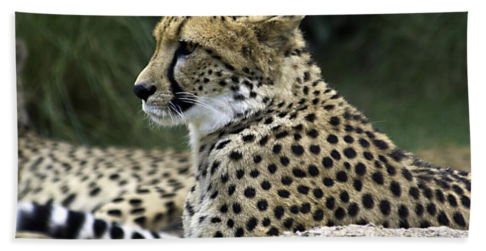 Tigers Hand Towel featuring the photograph Peaceful by Ken Frischkorn