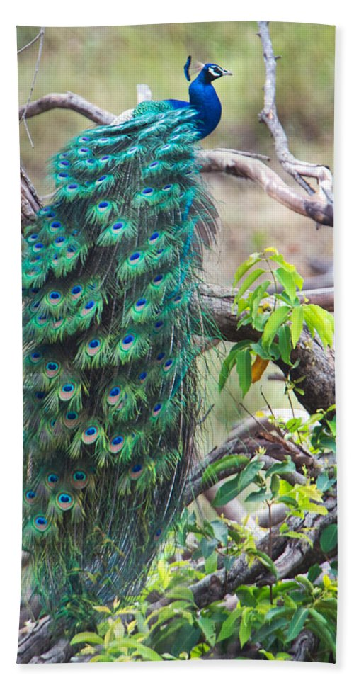 Photography Bath Sheet featuring the photograph Peacock Perching On A Branch, Kanha by Panoramic Images