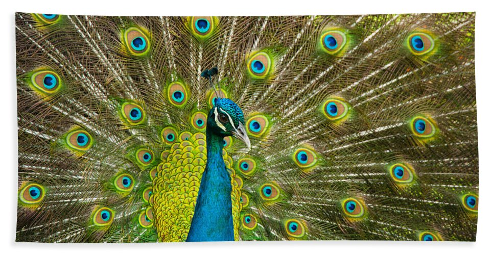 Animals Bath Sheet featuring the photograph Peacock Pride by Zina Zinchik