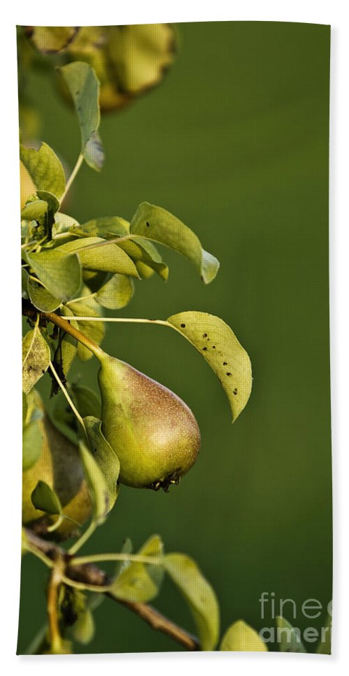 Color Hand Towel featuring the photograph Pear Tree by Dan Radi