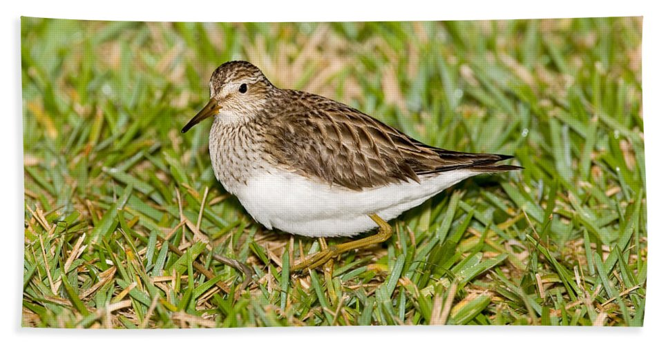 Pectoral Sandpiper Hand Towel featuring the photograph Pectoral Sandpiper by Anthony Mercieca
