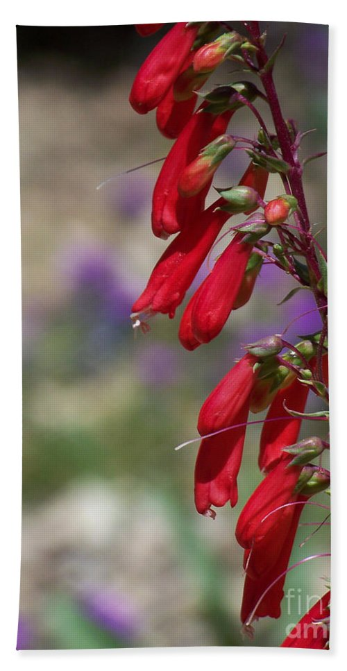Flowers Bath Sheet featuring the photograph Penstemon by Kathy McClure