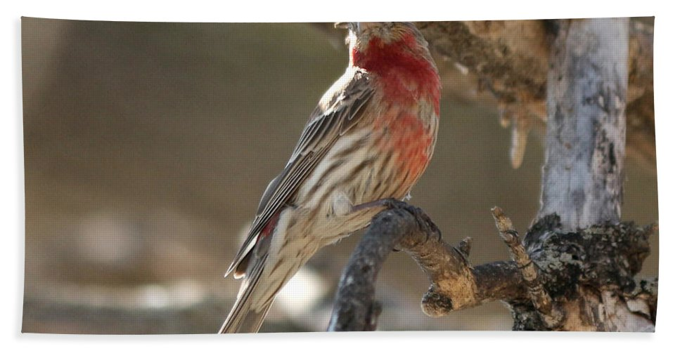House Finch Bath Sheet featuring the photograph Perched by Lori Tordsen