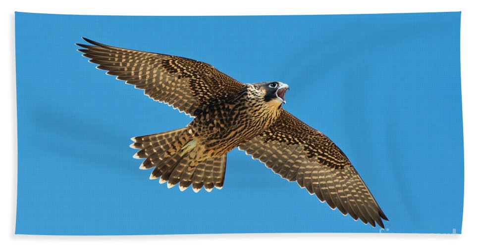 Peregrine Falcon Hand Towel featuring the photograph Peregrine Young Screaming For Food by Anthony Mercieca