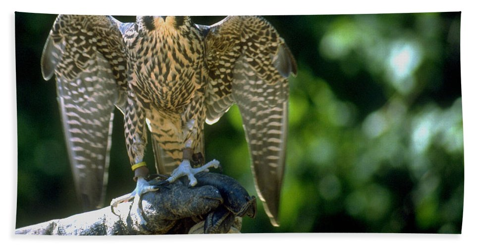 Bird Bath Sheet featuring the photograph Perigrine Falcon by Gary Gingrich Galleries