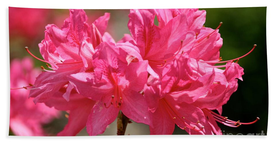 Flower Bath Sheet featuring the photograph Periscope Pink by Susan Herber
