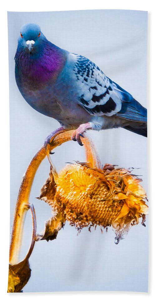 Pigeon Hand Towel featuring the photograph Pigeon On Sunflower by Bob Orsillo