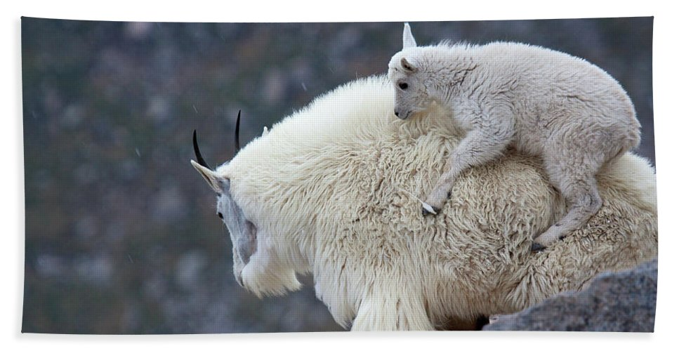 Mountain Goats Print Bath Sheet featuring the photograph Piggyback Ride by Jim Garrison