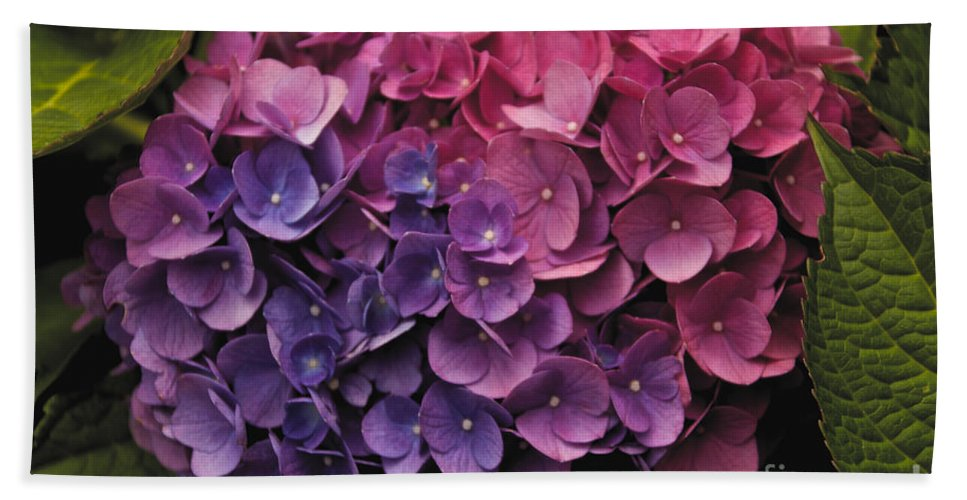 Flower Hand Towel featuring the photograph Pink And Blue Hydrangea by William Norton