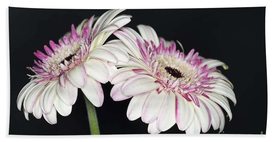 Pink Gerbera Flower Hand Towel featuring the photograph Pink And White Gerbera 2 by Steve Purnell