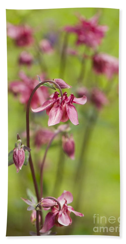 Pink Aquilegia Hand Towel featuring the photograph Pink Aquilegia by Anne Gilbert