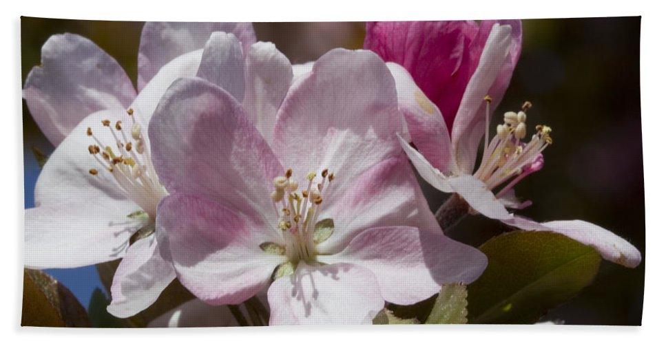 Pink Bath Sheet featuring the photograph Pink Flowering Crabapple Blossoms by Kathy Clark