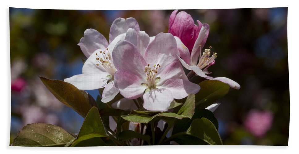Malus Bath Sheet featuring the photograph Pink Flowering Crabapple - Malus by Kathy Clark