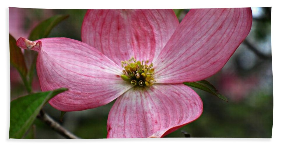 Cornus Florida Hand Towel featuring the photograph Pink Flowering Dogwood by William Tanneberger