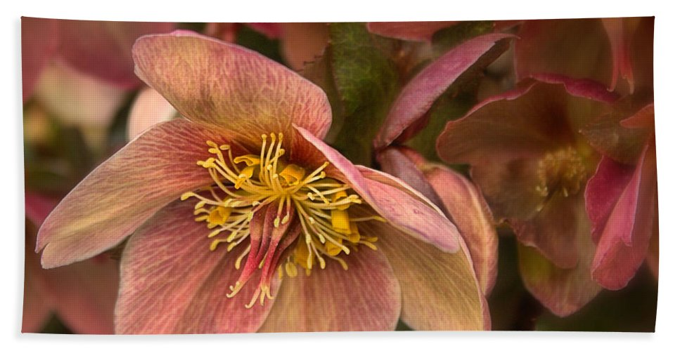 Roses Bath Sheet featuring the photograph Pink Lenten Rose by Mel Hensley