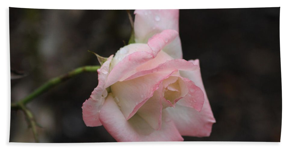 Rose Hand Towel featuring the photograph Pink Rose Bud by TN Fairey
