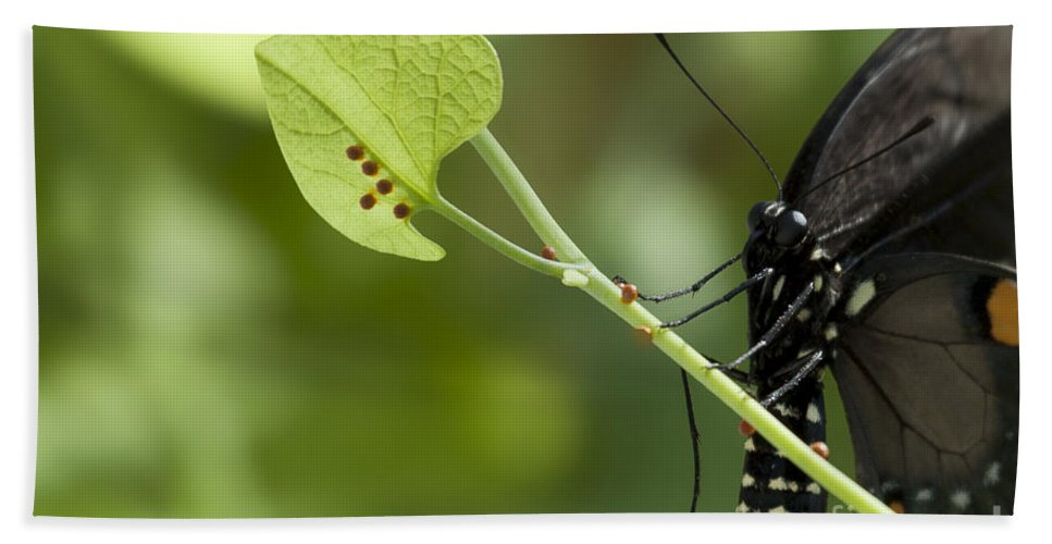 Pipevine Swallowtail Bath Sheet featuring the photograph Pipevine Swallowtail Mother With Eggs by Meg Rousher