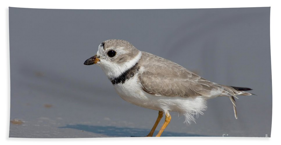 Animal Hand Towel featuring the photograph Piping Plover Charadrius Melodus by Anthony Mercieca