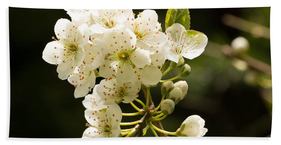 Blossom Bath Sheet featuring the photograph Plum Blossom by Brigitte Mueller