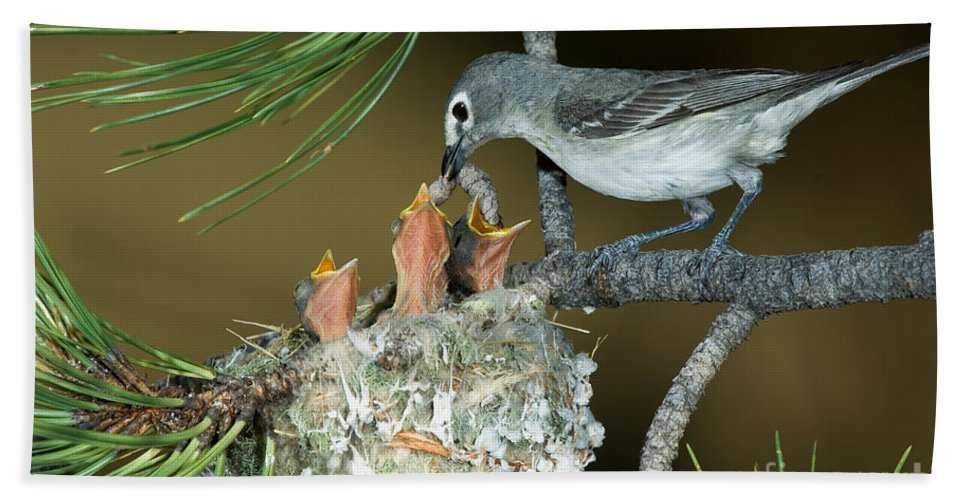 Fauna Hand Towel featuring the photograph Plumbeous Vireo Feeding Worm To Chicks by Anthony Mercieca