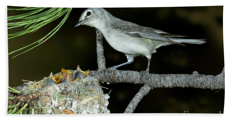 Fauna Hand Towel featuring the photograph Plumbeous Vireo With Four Chicks In Nest by Anthony Mercieca