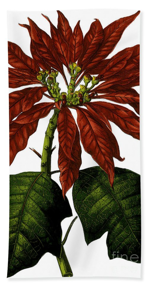 Poinsettia Hand Towel featuring the digital art Poinsettia A Traditional Christmas Plant Vintage Poster by R Muirhead Art
