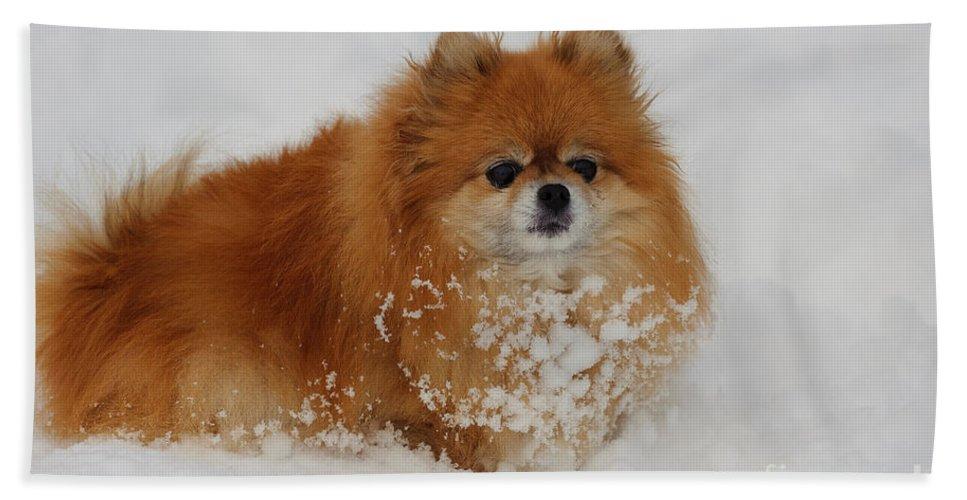 Pomeranian Bath Sheet featuring the photograph Pomeranian In Snow by John Shaw