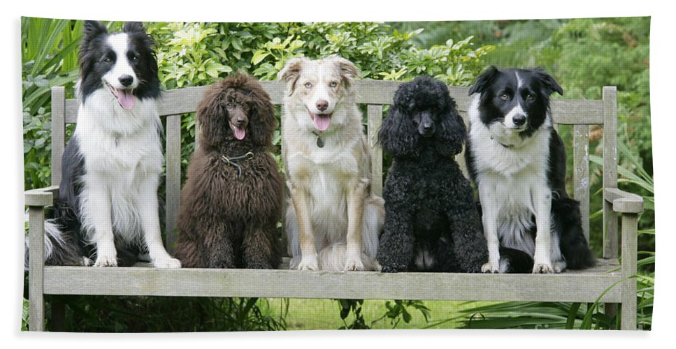 Dogs Bath Sheet featuring the photograph Poodles And Other Dogs On A Bench by John Daniels