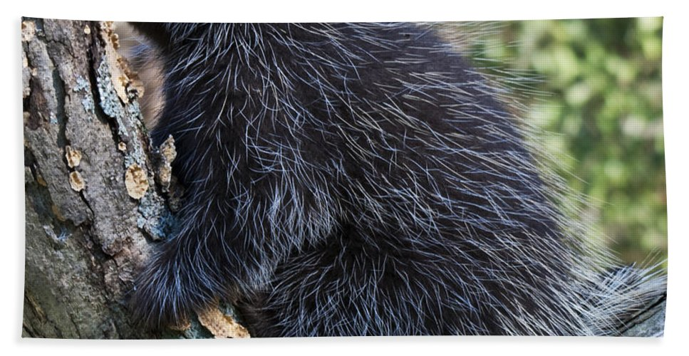 Porcupine Bath Sheet featuring the photograph Porcupine Sleeping by Paul Cannon