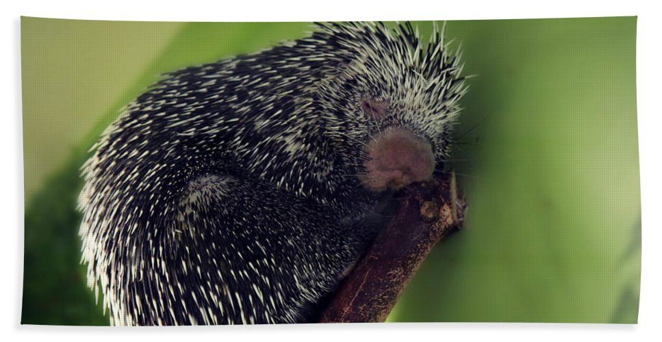 Whiskers Hand Towel featuring the photograph Porcupine Slumber by Melanie Lankford Photography
