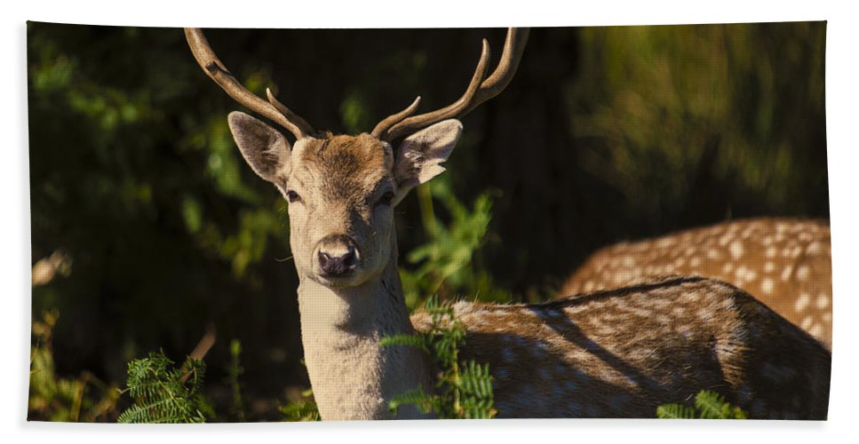 Deer Hand Towel featuring the photograph Powderham Deer by Rob Hawkins