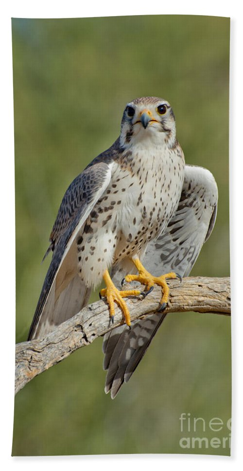 Prairie Falcon Hand Towel featuring the photograph Praire Falcon On Dead Branch by Anthony Mercieca