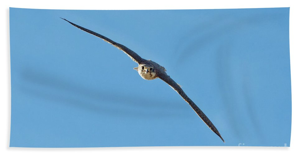 Prairie Falcon Hand Towel featuring the photograph Prairie Falcon In A Dive by Anthony Mercieca