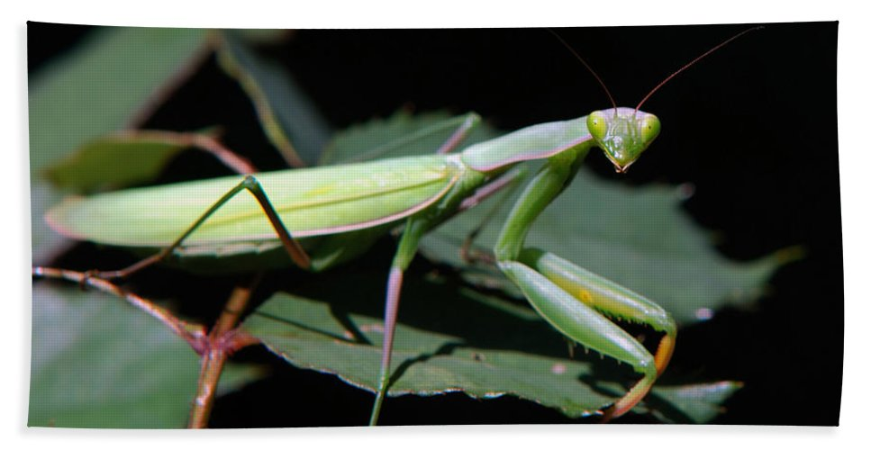 Praying Mantis Hand Towel featuring the photograph Praying Mantis by Christina Rollo