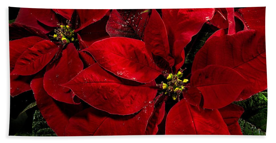 Christopher Holmes Photography Hand Towel featuring the photograph Pretty Poinsettias by Christopher Holmes