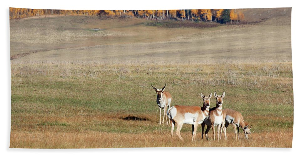 Antelope Bath Sheet featuring the photograph Pronghorn In The Park by Jim Garrison