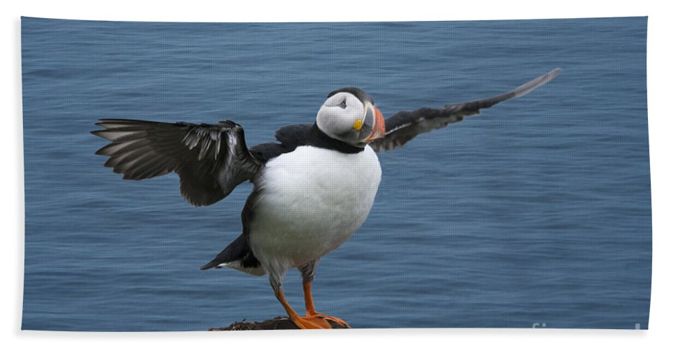 Puffin Hand Towel featuring the photograph Puffin Ready To Fly by Heiko Koehrer-Wagner