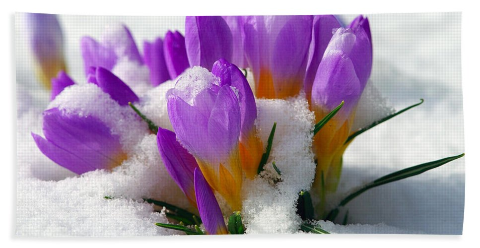 Crocuses Hand Towel featuring the photograph Purple Crocuses In The Snow by Sharon Talson