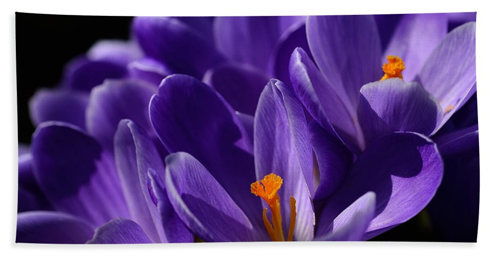 Flower Bath Sheet featuring the photograph Purple Crocuses On A Spring Day by TouTouke A Y