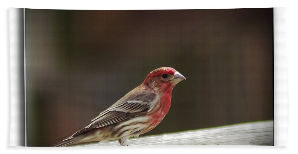 2d Hand Towel featuring the photograph House Finch by Brian Wallace