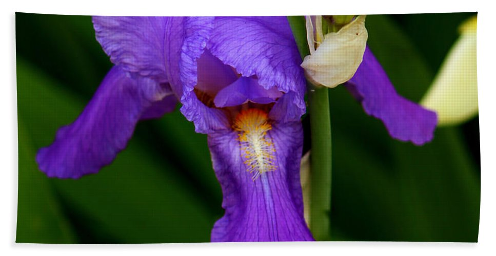 Iris Hand Towel featuring the photograph Purple Iris by Jeanette C Landstrom