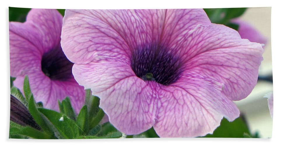 Flower Bath Sheet featuring the photograph Purple Petunia by Tikvah's Hope